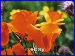 Thomas Mangelsen Bumblebee's Dream Poppies Lupine Photograph 20x30 251/1500